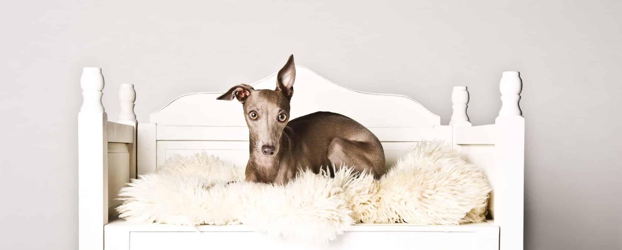aufmerksamer Hund auf Schafsfell Studiofotografie
