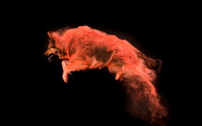 springender Hund mit Holistaum im Fell